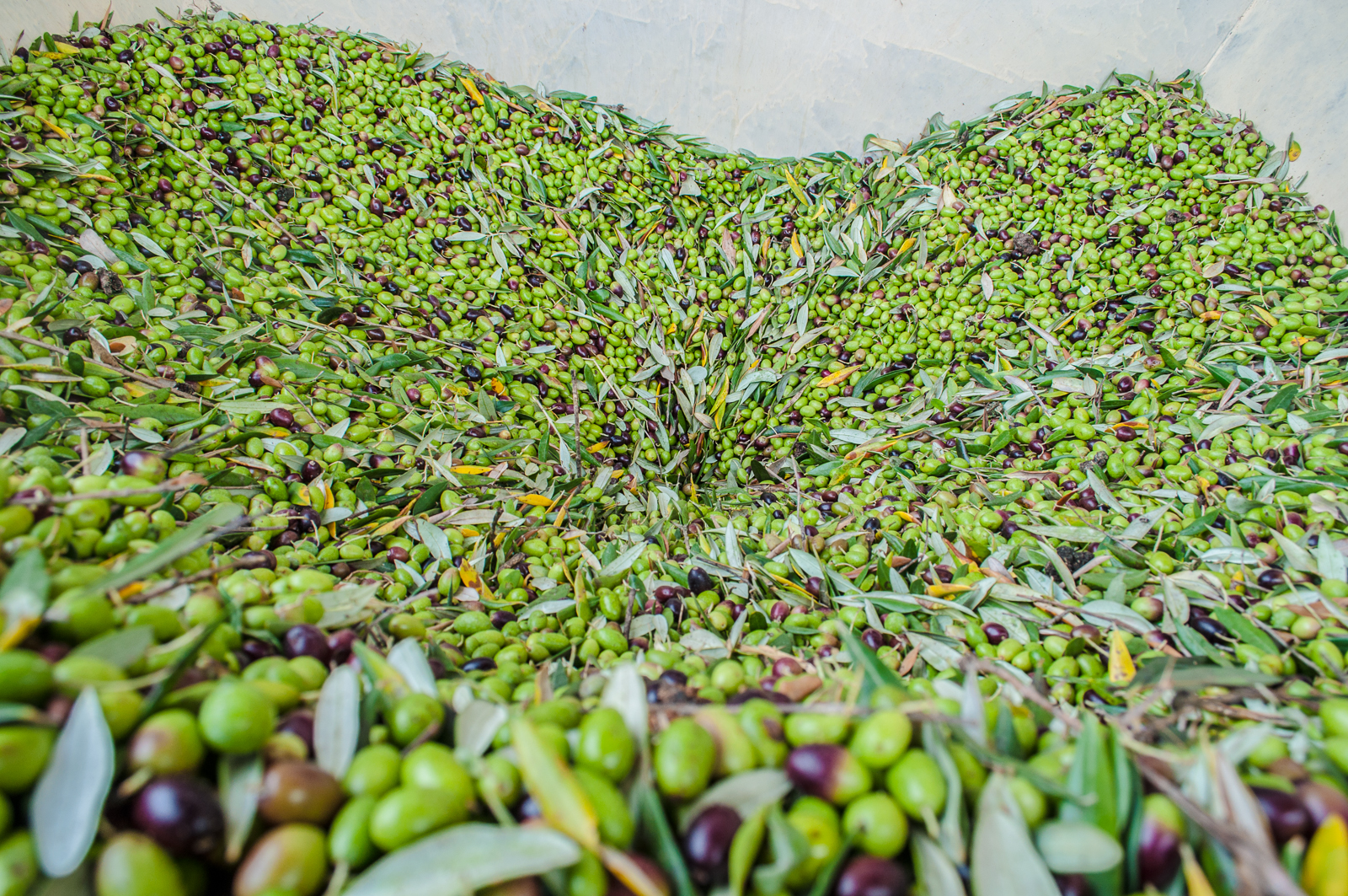 The just-harvested olives