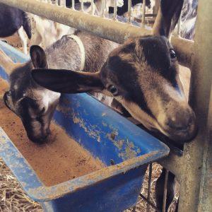 Goats at Firefly Creamery