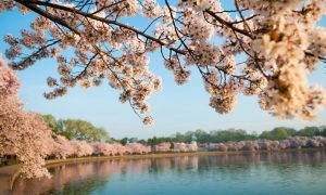 Cherry-Blossoms-Washington-DC-March-23-2012-01-1068x710
